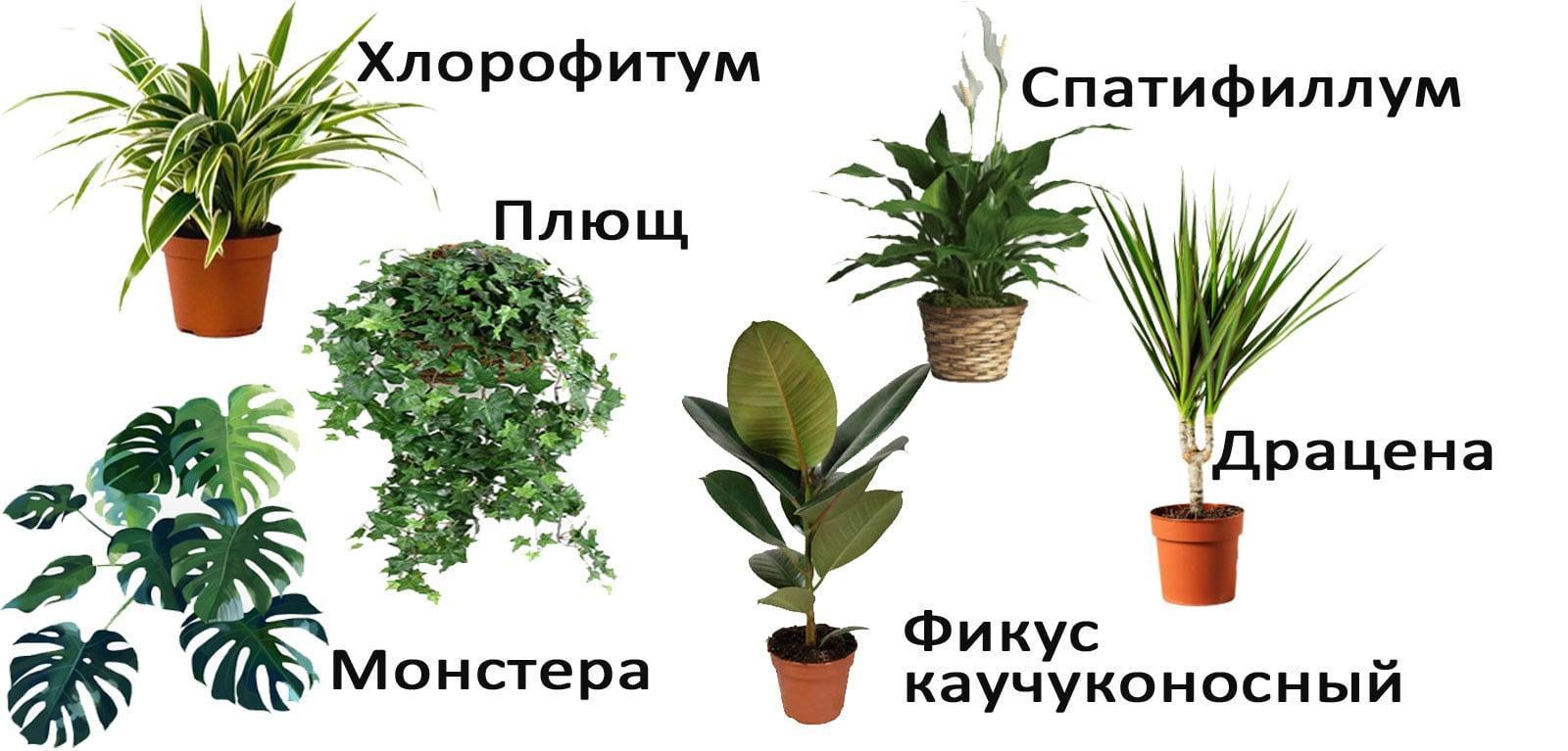 растения-очищающие-воздух